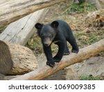 young asiatic black bear   usus ...   Shutterstock . vector #1069009385