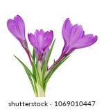 Bundle Of Purple Crocus Flowers