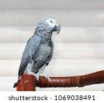 the grey parrot psittacus... | Shutterstock . vector #1069038491