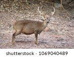male hog deer   hyelaphus...   Shutterstock . vector #1069040489