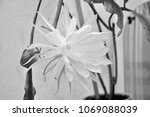 Small photo of Epiphyllum phyllanthus cactus big beautiful wild unusual flower white color with petals and leaves blooms one day in year, black and white