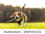 Stock photo beagle dog running with a wooden stick on a meadow towards the camera 1069101221