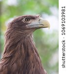 portrait of white tailed eagle  ... | Shutterstock . vector #1069103981