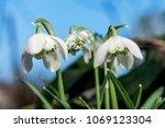 double snowdrop  galanthus... | Shutterstock . vector #1069123304