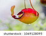 nepenthes plant eat... | Shutterstock . vector #1069128095