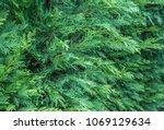 thuja occidentalis background... | Shutterstock . vector #1069129634