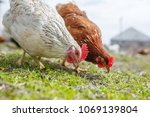 chickens in the yard graze ... | Shutterstock . vector #1069139804