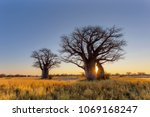 sun starburst at the baobab... | Shutterstock . vector #1069168247