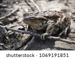 common toad on grey ground | Shutterstock . vector #1069191851