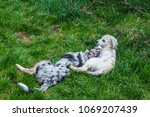 Small photo of two whelps cuddle each other on a green meadow