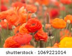 close up of orange ranunculus... | Shutterstock . vector #1069221014