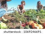 friendly team harvesting fresh... | Shutterstock . vector #1069246691