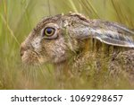 Stock photo head of european hare lepus europeaus hiding in vegetation and relying on camouflage 1069298657