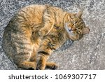 Stock photo big fat cat sleeps on the street on a concrete road close up in the sun the concept of stray 1069307717