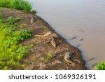 Crocodiles In The Wild In Costa ...