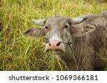 bright skinned water buffalo in ... | Shutterstock . vector #1069366181