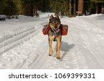 Mixed Breed Rotweiller Husky...