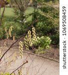 Small photo of Stachyurus chinensis 'Celina' (Chinese Stachyurus) in a Country Cottage Garden in Rural Devon, England, UK