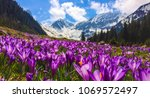 Small photo of Field with flowers in mountain valley. Natural summer landscape, Colorful spring landscape in Carpathian mountains with fields of blooming crocuses. Marvelous outdoors sunrise in the mountain valley.