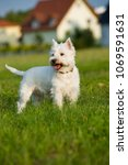 west highland white terrier in... | Shutterstock . vector #1069591631