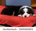 australian shepherd purebred... | Shutterstock . vector #1069606001