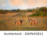 pair of bat eared fox  otocyon... | Shutterstock . vector #1069642811