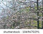 natural kapok trees  ceiba... | Shutterstock . vector #1069670291