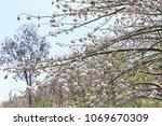 natural kapok trees  ceiba... | Shutterstock . vector #1069670309