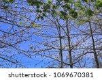 natural kapok trees  ceiba... | Shutterstock . vector #1069670381