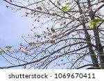 natural kapok trees  ceiba... | Shutterstock . vector #1069670411