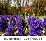 red tulip in purple flowers... | Shutterstock . vector #1069700795