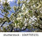 spring tree in blossom | Shutterstock . vector #1069705151