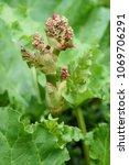 rhubarb plant  rheum... | Shutterstock . vector #1069706291