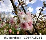 pink flower in bloom | Shutterstock . vector #1069715261