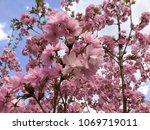 pink blossom tree in spring | Shutterstock . vector #1069719011