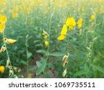 the yellow sunhemp flowers...   Shutterstock . vector #1069735511