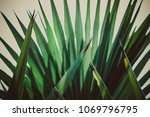 nature plant striped of palm... | Shutterstock . vector #1069796795