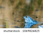 male moor frogs turn into a... | Shutterstock . vector #1069826825