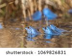 male moor frogs turn into a... | Shutterstock . vector #1069826831