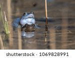 moor frogs when mating. the... | Shutterstock . vector #1069828991