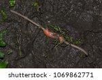 earthworms mating on muddy... | Shutterstock . vector #1069862771