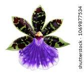 orchid flower  zygopetalum... | Shutterstock .eps vector #1069877534