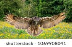 Stock photo flying eagle owl 1069908041