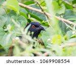 coucals  crow pheasants on tree. | Shutterstock . vector #1069908554