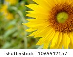 Small photo of Closeup and clop big sunflower on blurry background