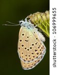 Small photo of Phengaris ( Maculinea ) alcon macro photography / alcon blue butterfly