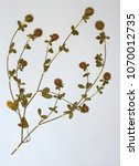 Small photo of Herbarium sheet with Trifolium (echinatum?), the Prickly clover, family Fabaceae (Leguminosae)