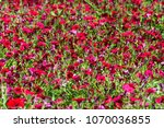full frame of red petunia... | Shutterstock . vector #1070036855