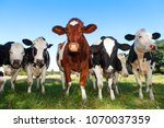 cow on a meadow with blue sky | Shutterstock . vector #1070037359