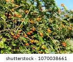 rose hip  ripe orange fruit of... | Shutterstock . vector #1070038661